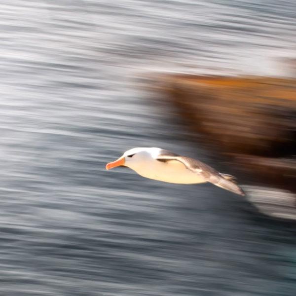 Albatross---Cedric-Delves