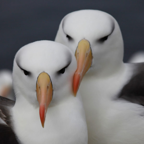 Black-Browed-Albatross-2---Georgina-Strange