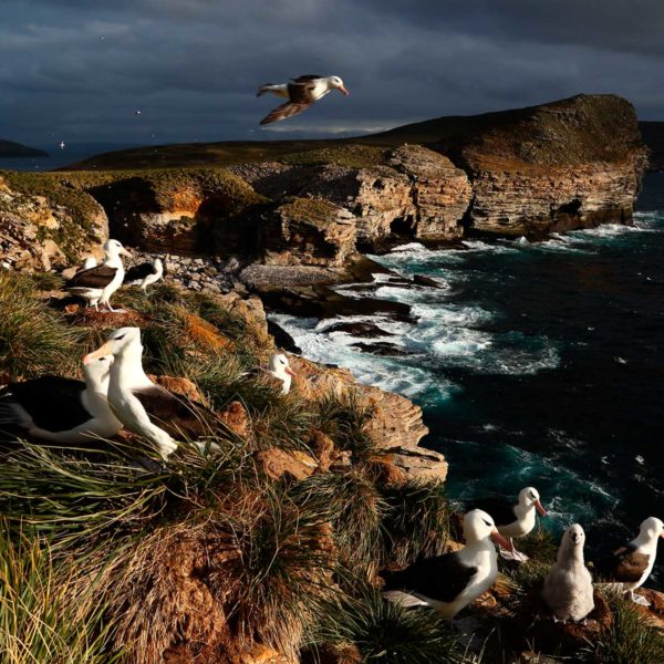 Black-browed-Albatross-Settlement-Colony---Georgina-Strange