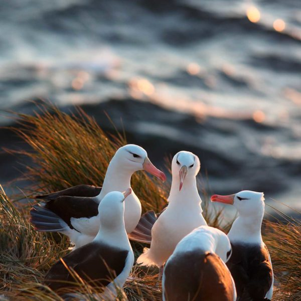 Black-browed-Albatross-conference---Georgina-Strange