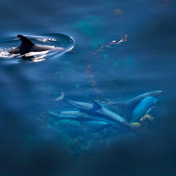 Dolphins---Cedric-Delves