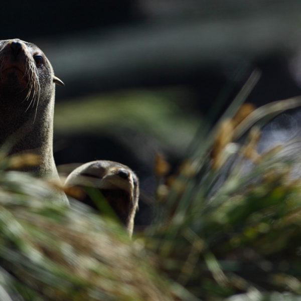 Falkland-Fur-Seals---Georgina-Strange