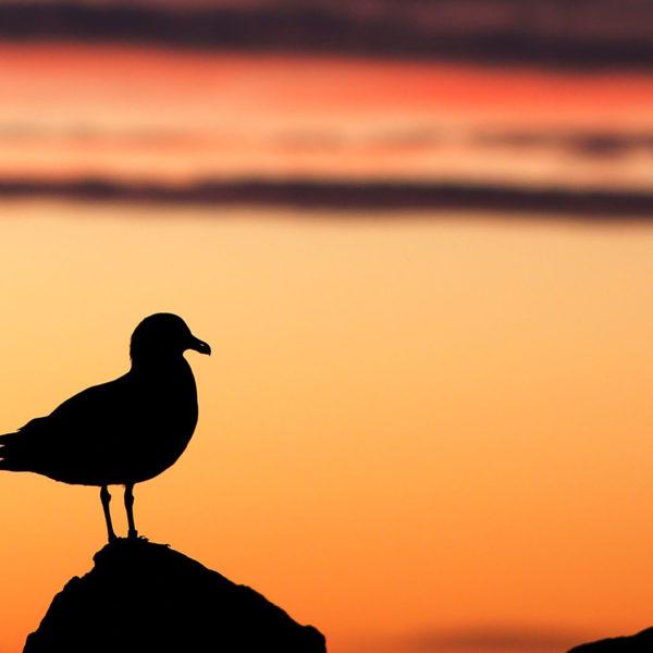 Falkland-Skua---Georgina-Strange