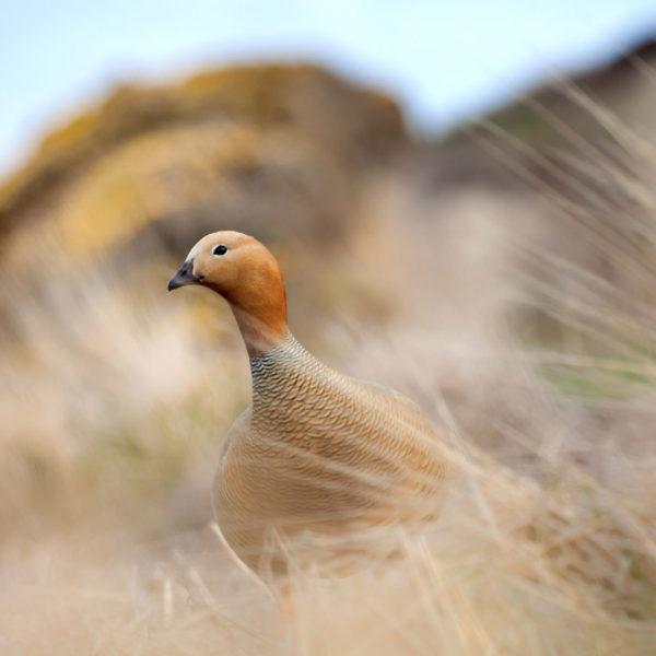 Female-Upland-Goose---Cedric-Delves