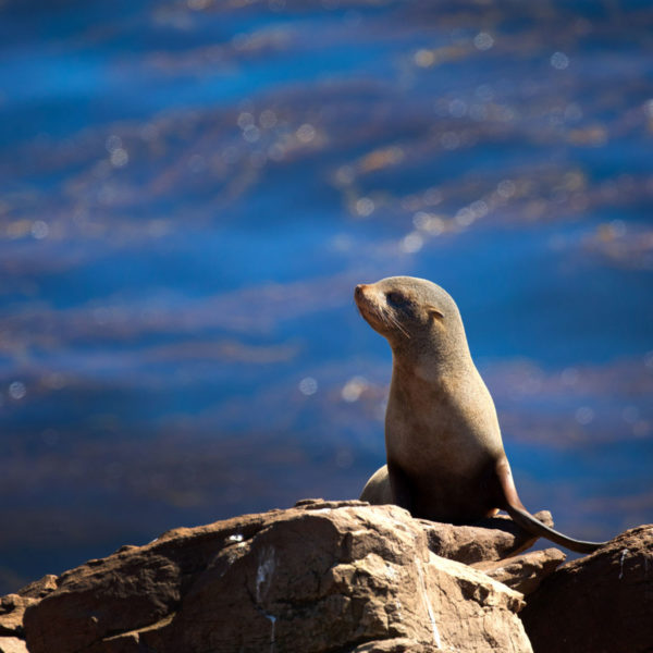 Fur-Seal---Cedric-Delves