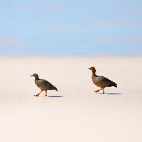 Geese-strut-their-stuff---Cedric-Delves