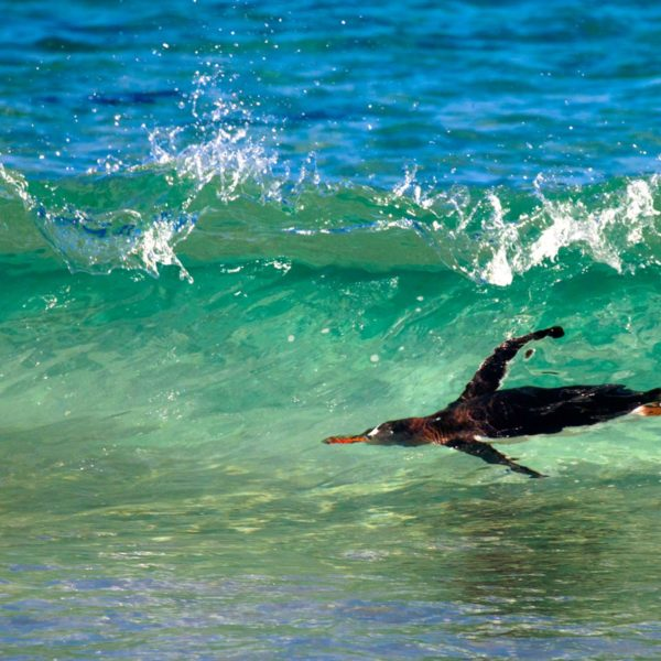 Gentoo-in-the-surf---Cedric-Delves