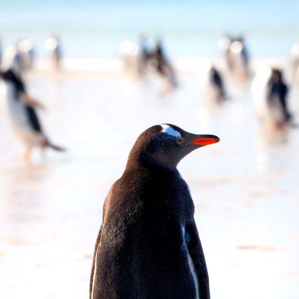 Gentoo-on-the-beach---Cedric-Delves