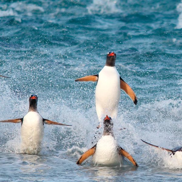 Gentoo-penguins-surfing---Georgina-Strange