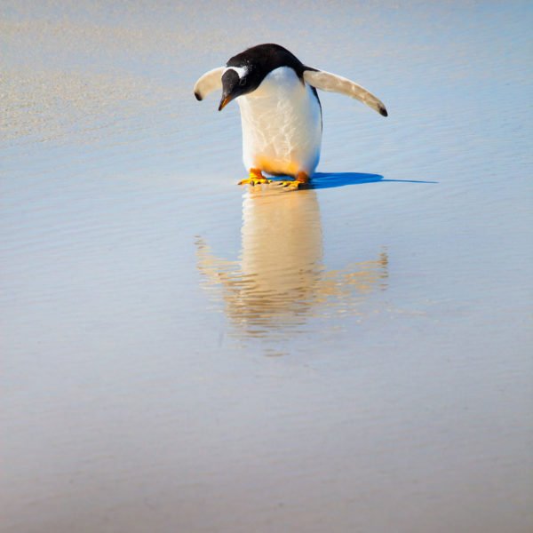 Gentoo-reflecting---Cedric-Delves