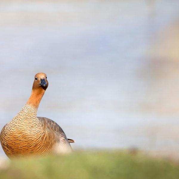 Inquisitive-Upland-Goose---Cedric-Delves