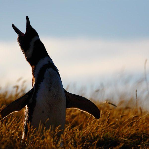 Magellanic-Penguin-calling---Georgina-Strange
