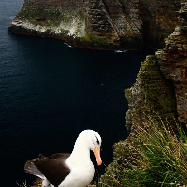 Nesting-Black-browed-Albatross-Landsend-Bluff---Georgina-Strange
