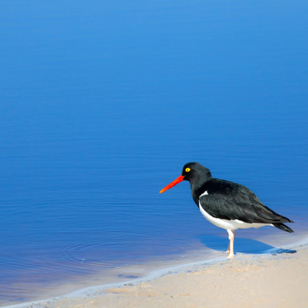 Oyster-Catcher---Cedric-Delves