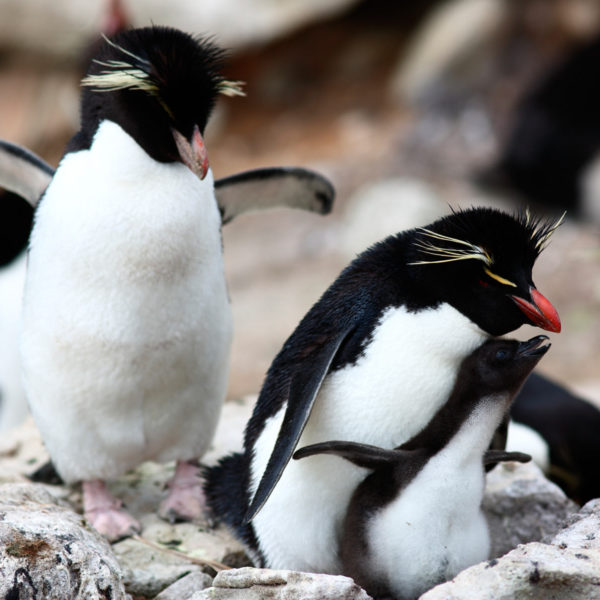 Rockhopper-penguins---Georgina-Strange