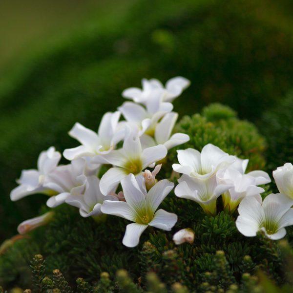 Scurvy-Grass-flowers---Georgina-Strange