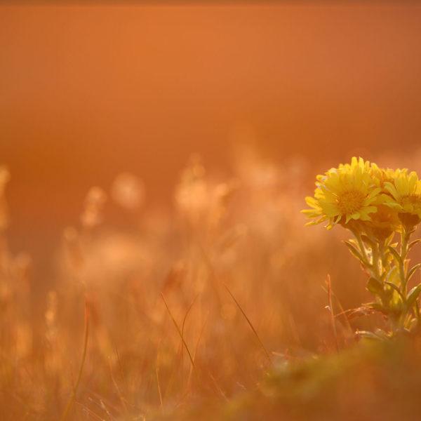 Smooth-Ragwort-or-Yellow-Daisy---Georgina-Strange